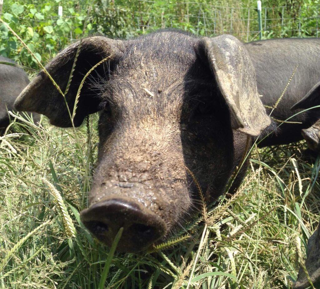 Tyler Charles De Francisco is a first generation farmer raising red wattle hogs in Big Sandy Mush, NC.
